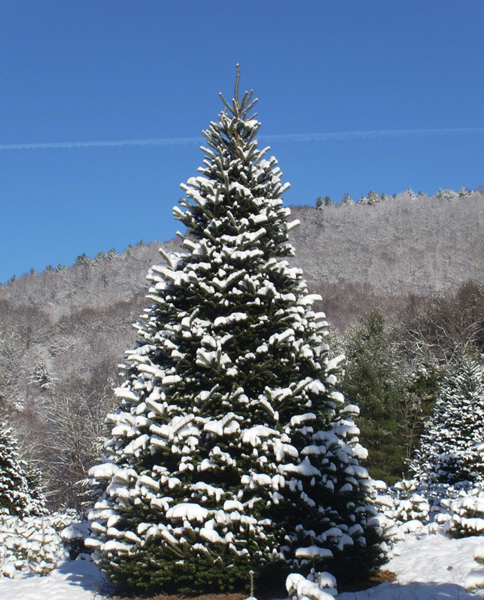 Fraser Fir Christmas Trees: North Carolina Fraser Fir