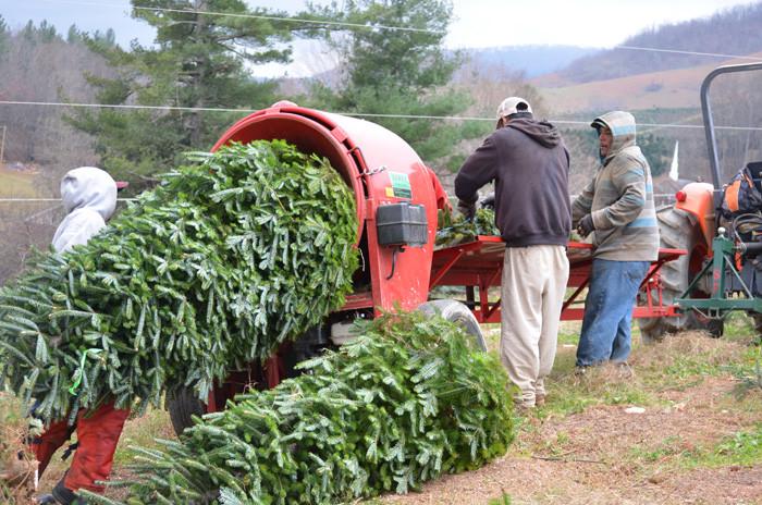 Garden Ridge Christmas Trees.River Ridge Tree Farm North Carolina Fraser Fir