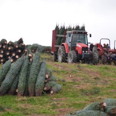 North Carolina Christmas Tree Farms