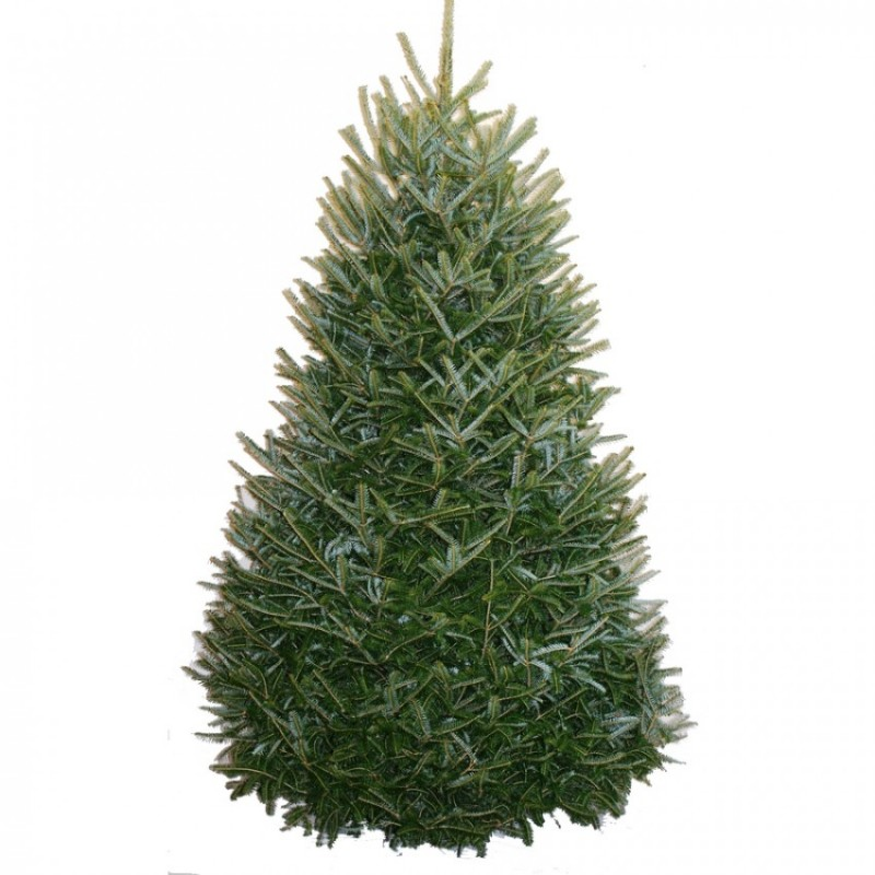 Best Christmas Tree Farms In Nc: Fraser Fir Christmas Trees For Sale